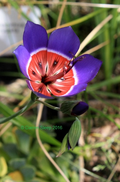 Geissorhiza radians