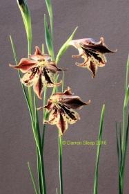 Gladiolus maculatus