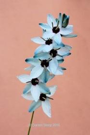 Ixia viridiflora var minor