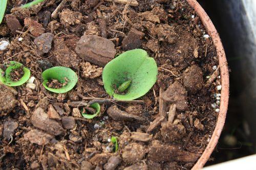 Corybas buds in January