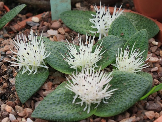 pygmaea