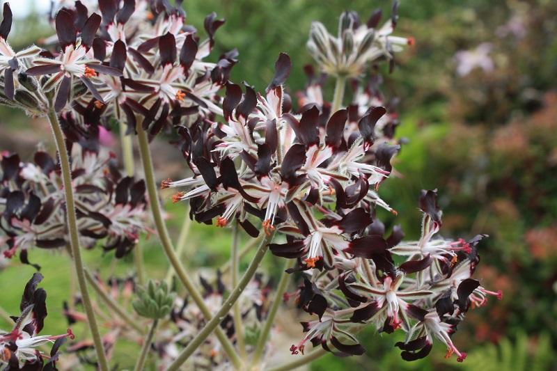 P. auritum ssp auritum