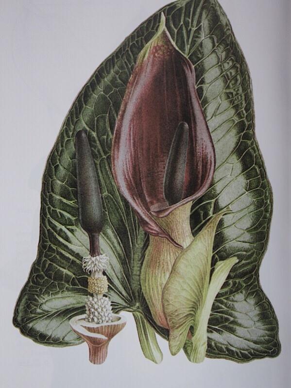 Arum pictum by Pandora Sellars