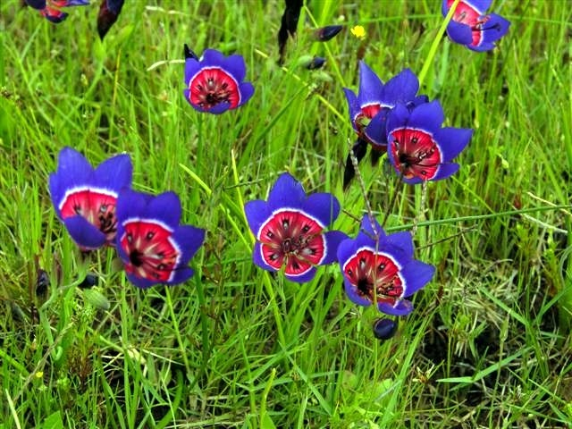 Darling_Wildflower_Reserve_-_Geissorhiza_radians_1