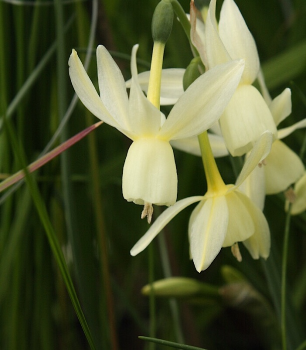 Narcissus triandrus