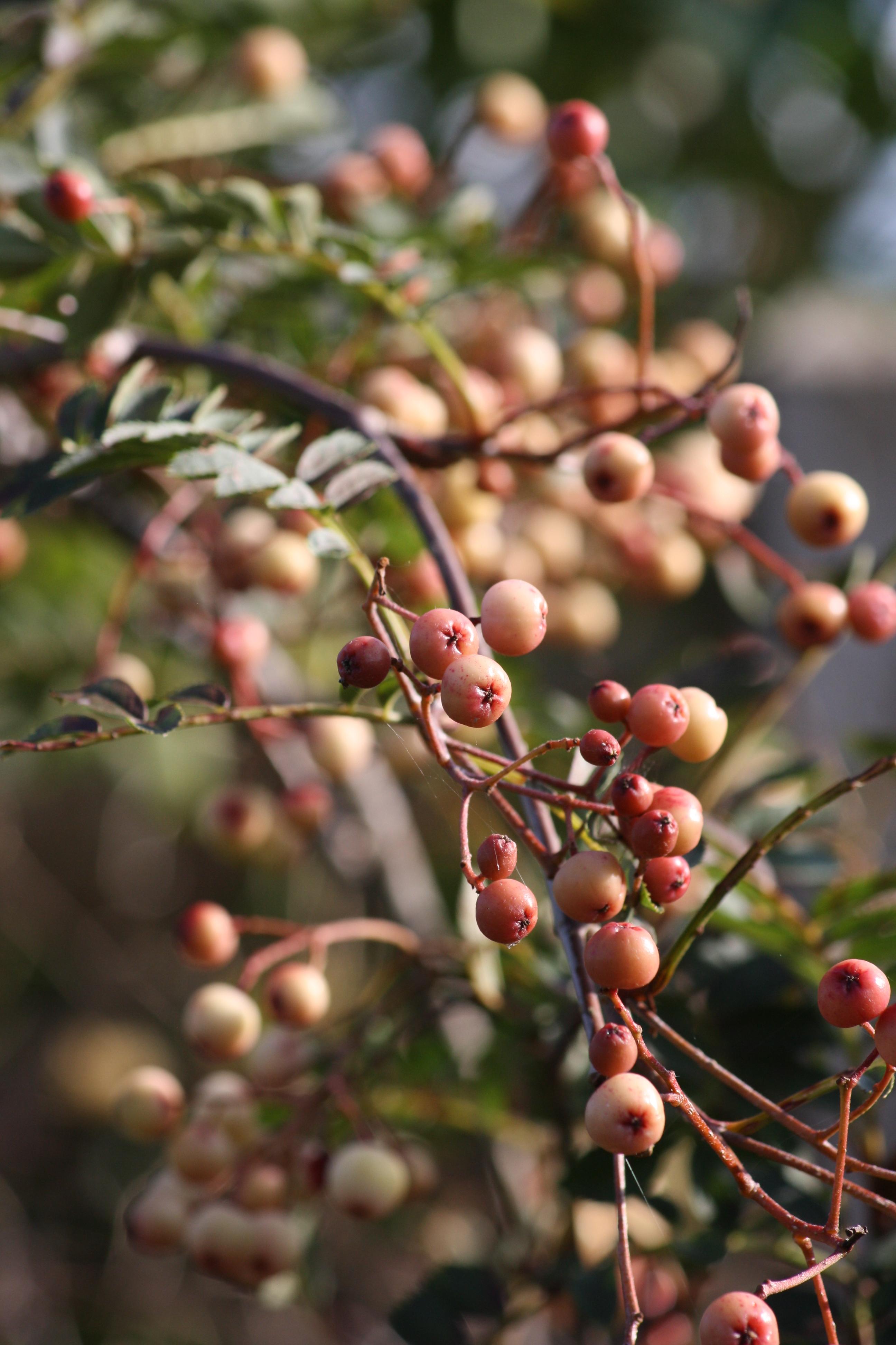 Sorbus vilmorinii.jpg